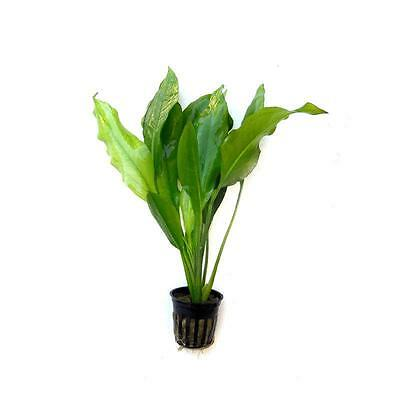 Live Tropical Aquarium Fish Tank Aquatic Plants For Sale - Echinodorus bleherii