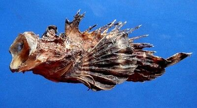 75878 Spotted stingerfish - Inimicus sinensis, 190 mm