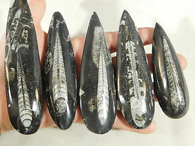 A BIG Lot! of Polished 400 Million Year Old ORTHOCERAS Fossil From Morocco 367gr