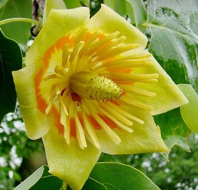 Chinese Tulip Tree Seeds -Amazing Flowers,Compact Habit