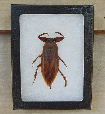 E125) Real Giant Water Bug Lethocerus 3X4 framed display insect butterfly bug US