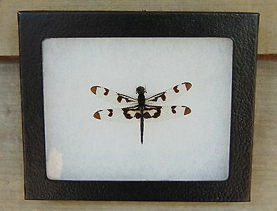 E374) Real Banded Pennant Dragonfly 4X5 frame display butterfly insect taxidermy