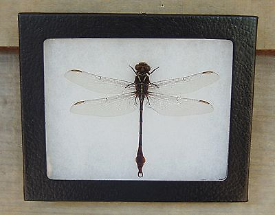 E377) Real 2-Striped Forceptail Dragonfly 4X5 framed display butterfly taxidermy
