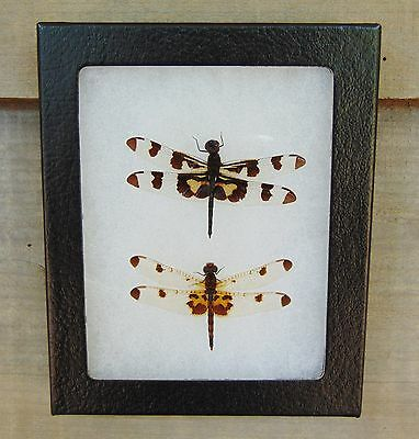 E379) Real Banded Pennant Dragonfly Pair 4X5 frame display insect taxidermy USA