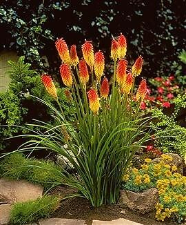 Kniphofia Flamenco, Red Hot Poker Seeds