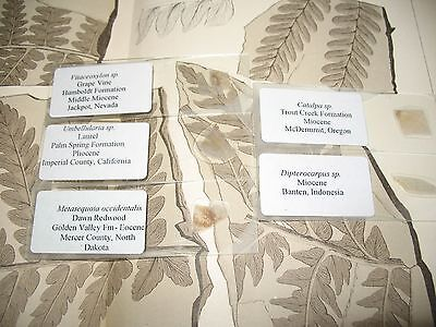 Fossil petrified wood THIN SECTION collection #1 Metasequoia Vine Laurel Redwood