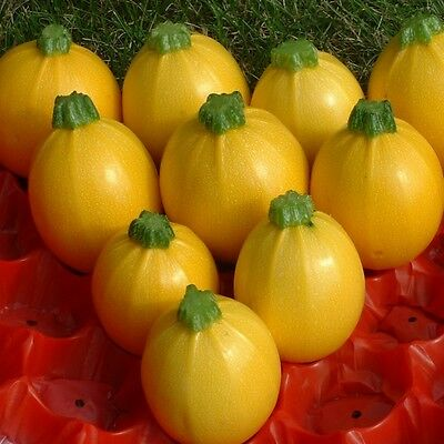 Vegetable - Courgette - Floridor - 10 Seeds