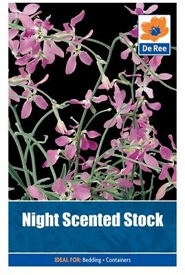 Night Scented Stock Flower Seeds (approx 210 seeds)
