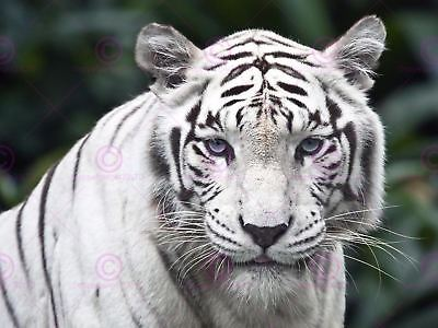 Photo Nature Animal White Siberian Tiger Big Cat Cool Blue Eyes Poster Lv11003