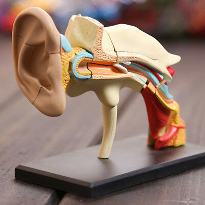 4D Vision Human Ear Anatomy Model Dental Office Decoration Teaching Model