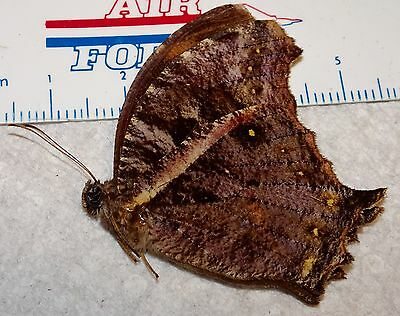 Lepidoptera Nymphalidae Butterfly Species Cameroon, Africa #C-0 Insect Moth