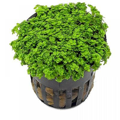Live Tropical Aquarium Carpeting Plants Hemianthus callitrichoides 'Cuba'