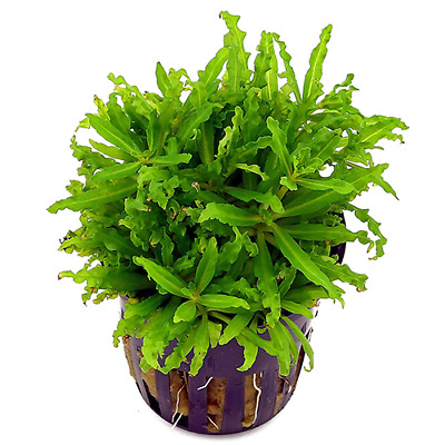 Live Tropical Aquarium Foreground Aquatic Carpeting Plants Pogostemon helferii
