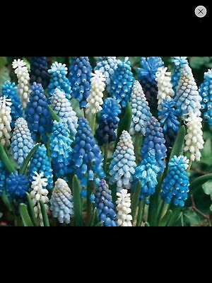 Pack 20 Grape Hyacinth Muscari 'Mixed' WPC Prins Quality Spring Bulbs