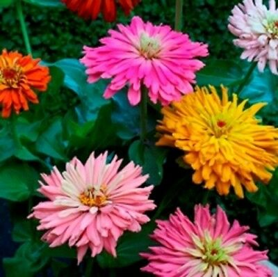 Zinnia - Giant Cactus Flowered - 200 Seeds