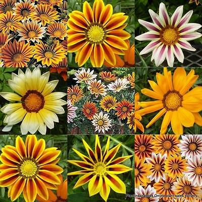 15 Drought Hardy Garden Plants Gazania Mixed Groundcover Flowers Cottage Border