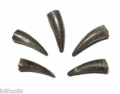Cretaceous Borealosuchus crocodile tooth Hell Creek dinosaur beds medium