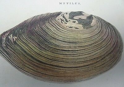 1768 Pennant - BIVALVE SHELL SWAN MYAS QUARTO large paper edition in hand colour