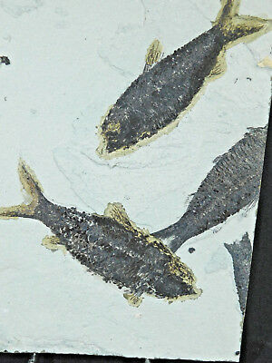 THREE! Nice 50 Million Year Old Knightia Fish Fossils From Wyoming 1095gr e