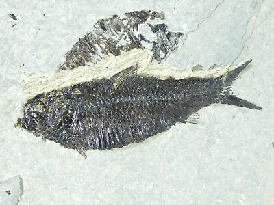 A VERY Nice and 100% Natural 50 Million Year Old Fossil Fish Wyoming 471gr