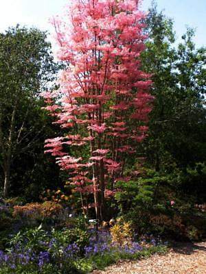 Red Cedar 10 Seeds,Chinese Cedar (Toona Sinensis) Frost hardy, fast growing