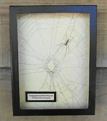 W1) Real Long-jawed Orb Weaver Spider on actual Web framed shadowbox taxidermy