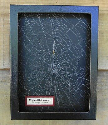 W5) Real Orchard Orb Weaver Spider on actual Web framed shadowbox taxidermy USA
