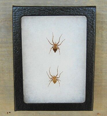 E128) 2 Real ORB SPIDERS spider 4X3 NICE Framed Taxidermy mount in USA