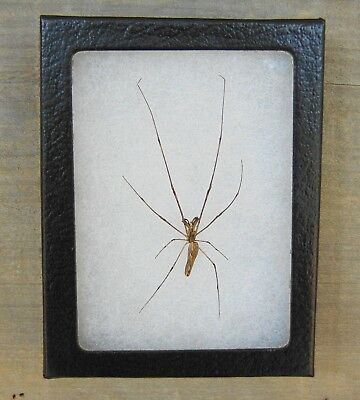E130) Real LONG-JAWED ORB WEAVER SPIDER Tetragnatha 4X3 NICE Framed Taxidermy