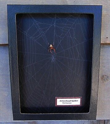 W6) Real Arrowhead Spider Verrucosa on actual Web framed shadowbox taxidermy