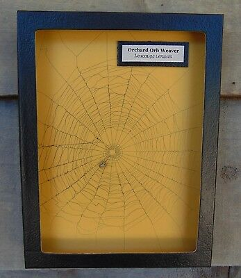 W7) Real Orchard Orb Weaver Spider on actual Web framed shadowbox taxidermy USA