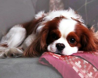 Cavalier King Charles Spaniel / Dog 8 x 10 / 8x10 GLOSSY Photo Picture