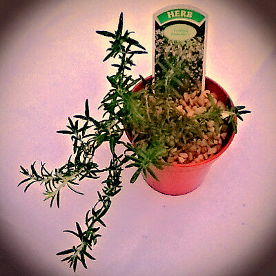 Rosemary-Trailing, Herb Plant, Culinary, Medicinal,