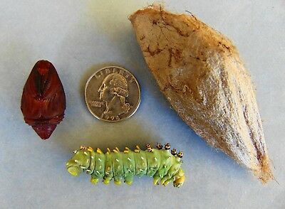 Real CECROPIA MOTH Life Cycle Taxidermy Set Caterpillar Pupa Cocoon Hyalophora