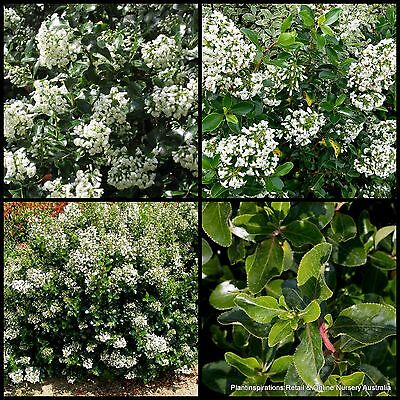 8 Escallonia iveyi Hardy Fast Hedge Plants Shrubs Garden White Flowers Screen