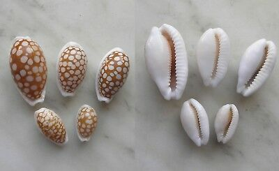 seashell  cypraea cribraria set 5