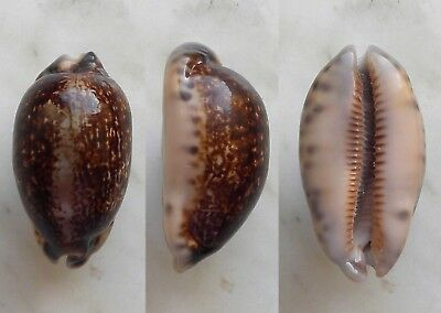 seashell  cypraea eglantina nr selected