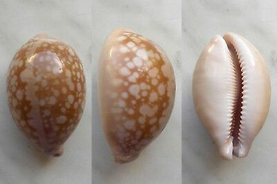seashell   cypraea  nivosa good size