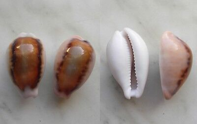 seashell   cypraea spadicea selected set 2