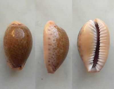 seashell   cypraea spurca selected