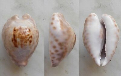 seashell   cypraea teulerei selected