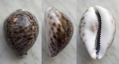 seashell   cypraea tigris unusual pattern