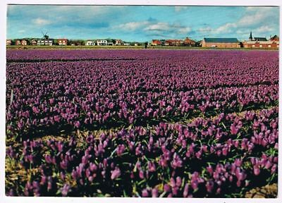 Holland Netherlands Postcard Holland in Bloom Purple Bloementooi