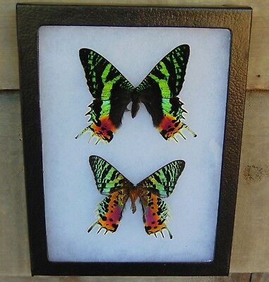 E738) Real SUNSET MOTH Urania DORSAL & VENTRAL 6X8 Framed butterfly taxidermy