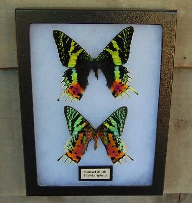 E739) Real SUNSET MOTH Urania DORSAL & VENTRAL 6X8 Framed butterfly taxidermy