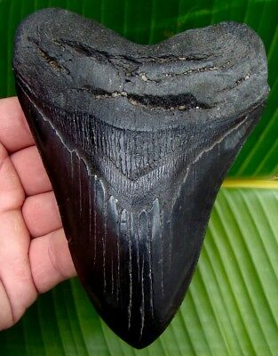 Megalodon Shark Tooth 5 & 5/16 REAL Fossil  Sharks Teeth JAW