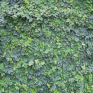 Ficus Pumila 10 Seeds, Creeping Fig, Climbing Fig - Covers everything