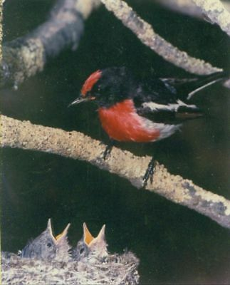 Red-Chapped Robin Petroica goodenovii   8 X 10 laminated Color Photograph
