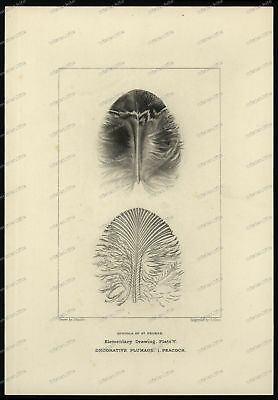 Druck-Stahlstich-Engraving-John-Ruskin-Decorative-Plumage-Peacock-G.Allen-37