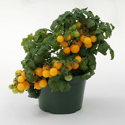 Vegetable - Tomato - Sweet n Neat Yellow - 10 Seeds